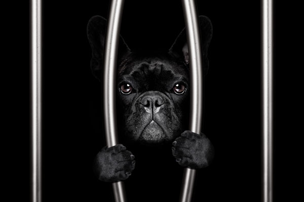 french bulldog in jail