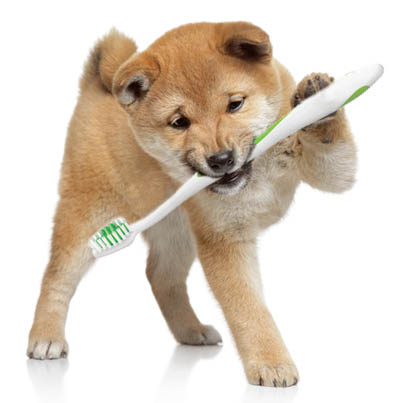 shiba inu puppy brushing teeth