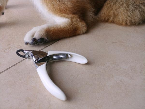 shiba inu nail clipping