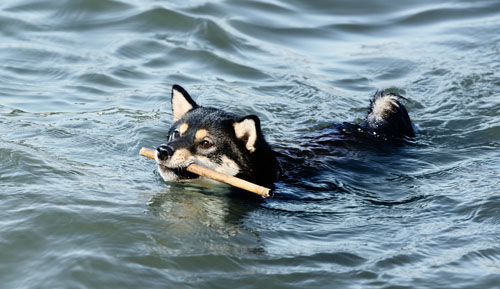 shiba inu dog fetching stick in lake water