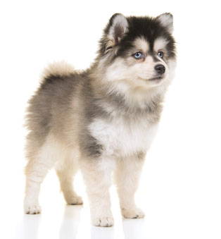 adrorable pomsky puppy