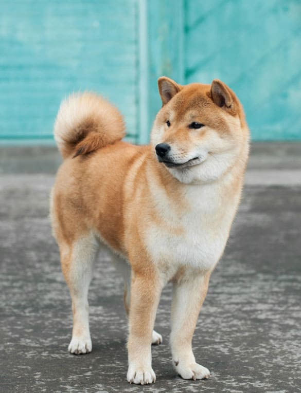 nice looking shiba inu