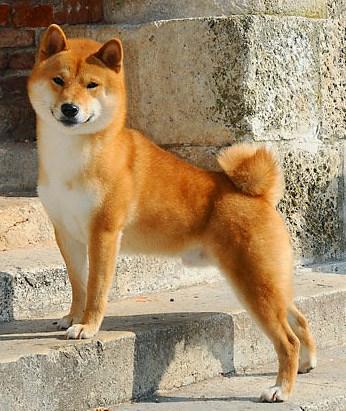 beautiful red shiba inu