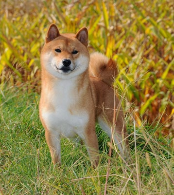 shiba inu in the field