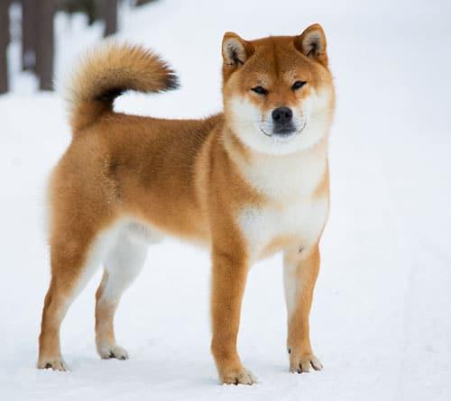 gorgeous shiba inu in snow