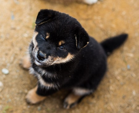 cute black and tan shiba inu puppy