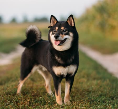beautiful black and tan shiba inu