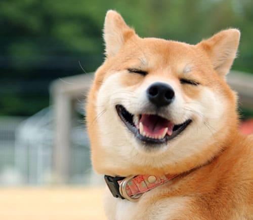 happy shiba inu smiling