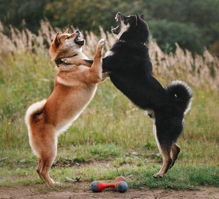 two shiba inus playing roughly
