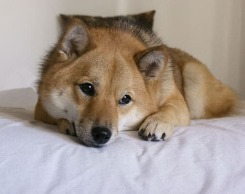 shiba inu contemplating on bed image