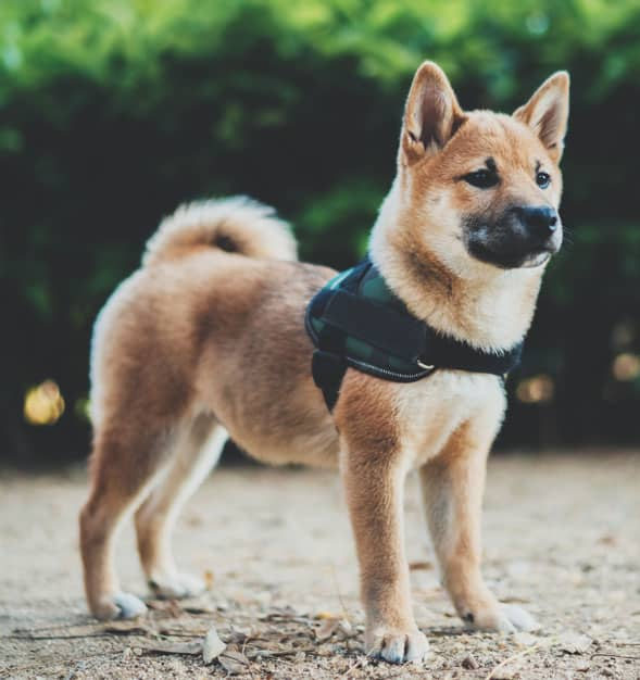 shiba inu puppy harness secure escape proof