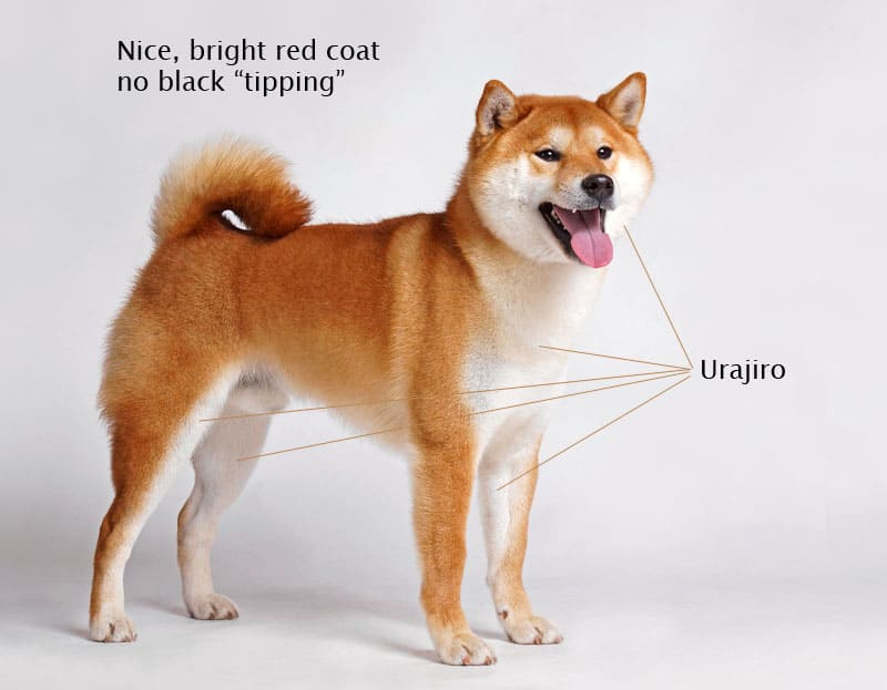 beautiful red shiba inu coat