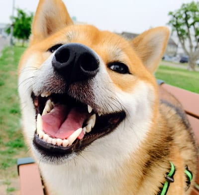 shiba inu with beautiful white teeth