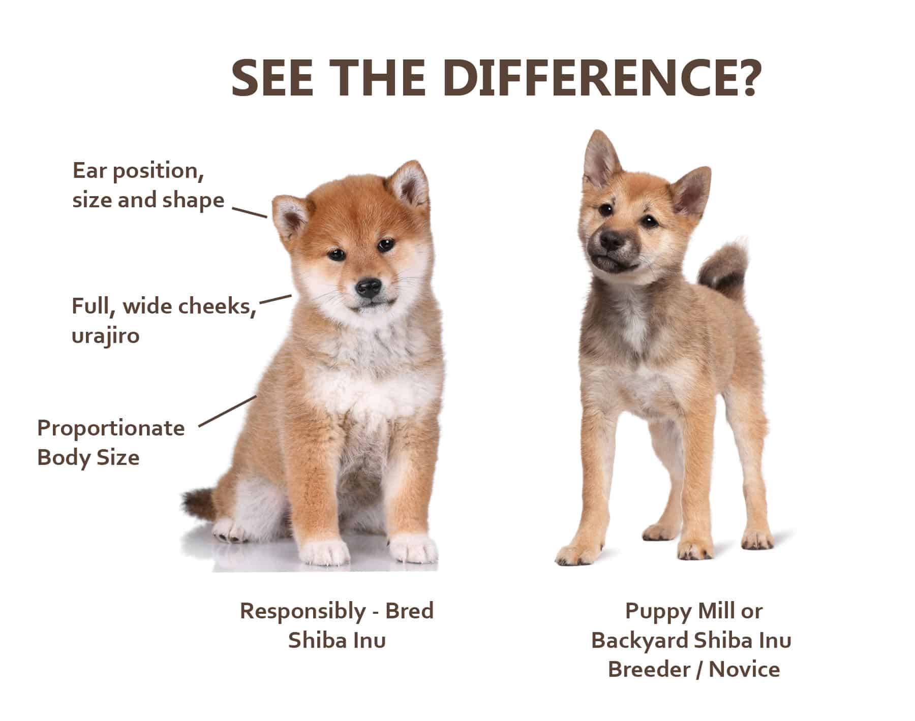 How Much Do Shiba Inu Puppies Cost? - My First Shiba Inu