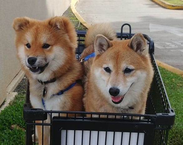 long hair shiba inu puppy on left