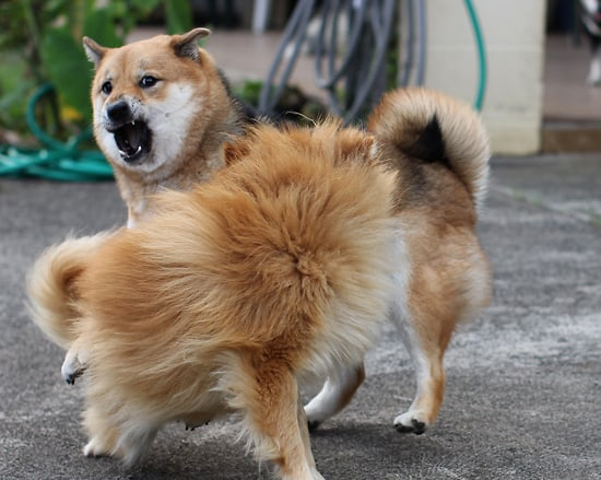 shiba inu growling while playing
