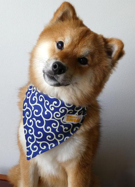 shiba inu blue bandana karakusa
