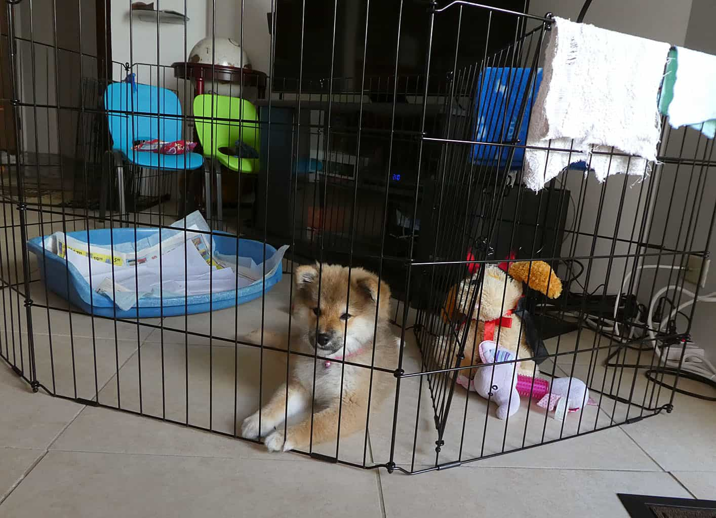 How To Potty Train Your Shiba Inu Puppy