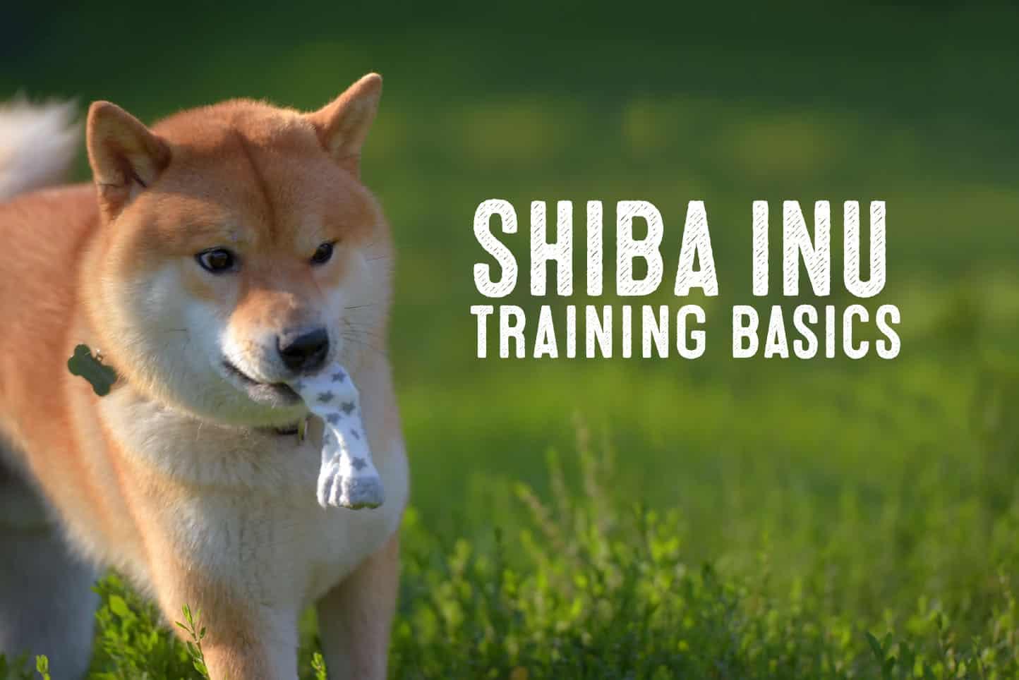 shiba inu training basics