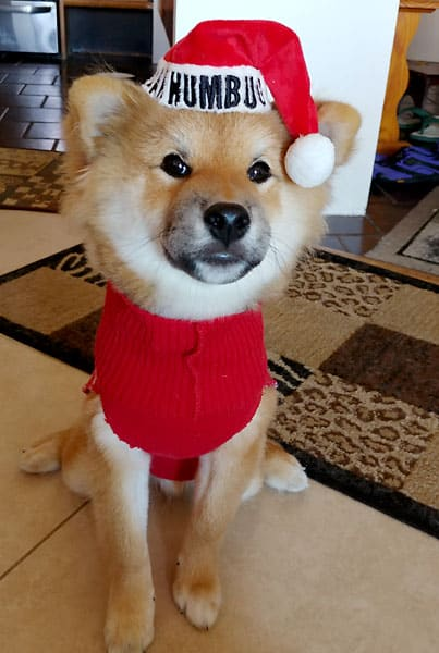 shiba inu christmas puppy with santa hat