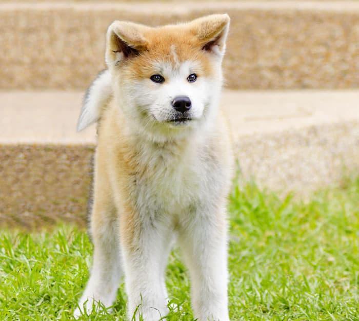 Japanese akita inu dogb breed