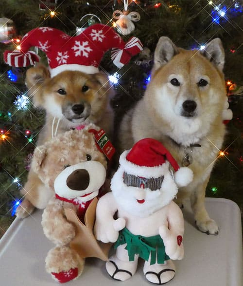 shiba inu christmas dogs in front of tree