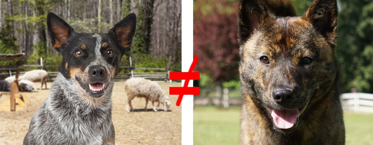 kai ken similar to australian cattle dog