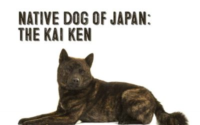 The Japanese Kai Ken Dog