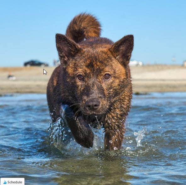kai ken dog in water