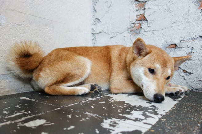 likely puppy mill shiba inu