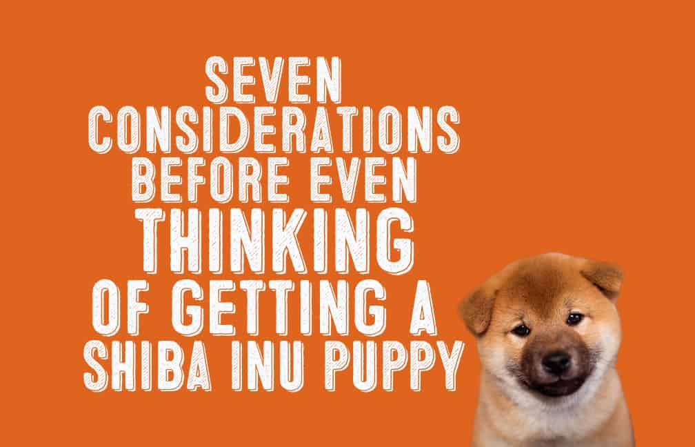 7 Things To Consider Before Even Thinking About Getting A Shiba Inu