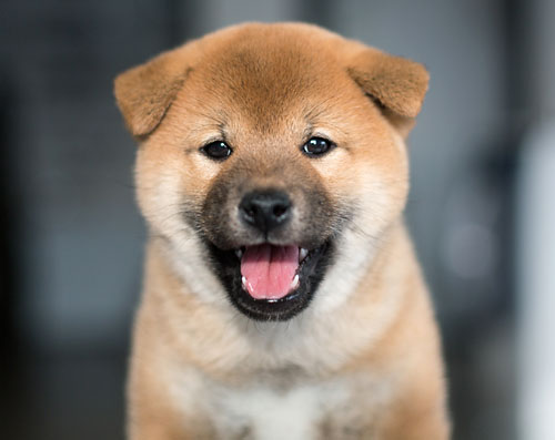 Adorable Shiba Inu puppy smiling