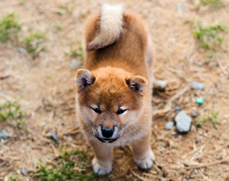 cute shiba inu puppy
