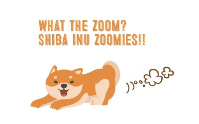 Shiba Inu Zoomies -Everything You Need To Know!