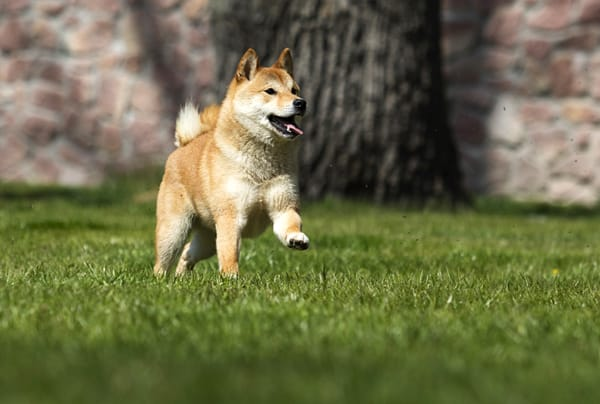 happy shiba inu running in open field