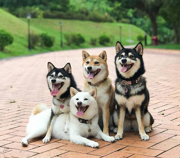 four beautiful smiling and happy shiba inus
