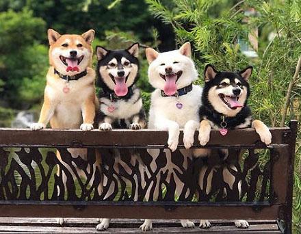 happy shiba inus smiling