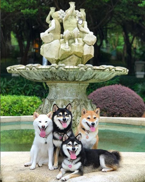 smiling shiba inus in front of water fountain