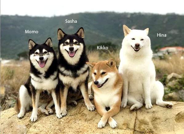 four photogenic shiba inus