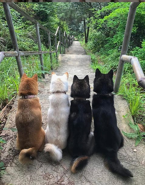 backside view of four shiba inus