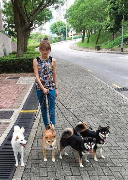 yoko with her four shiba inu dogs