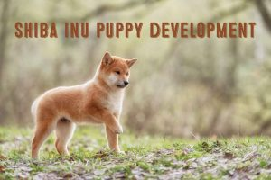 shiba inu puppy development