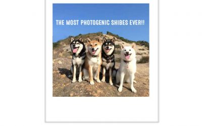 Kikko, Sasha, Momo and Hina: The Most Photogenic Shibes On The Planet
