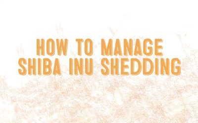 How To Manage Shiba Inu Shedding