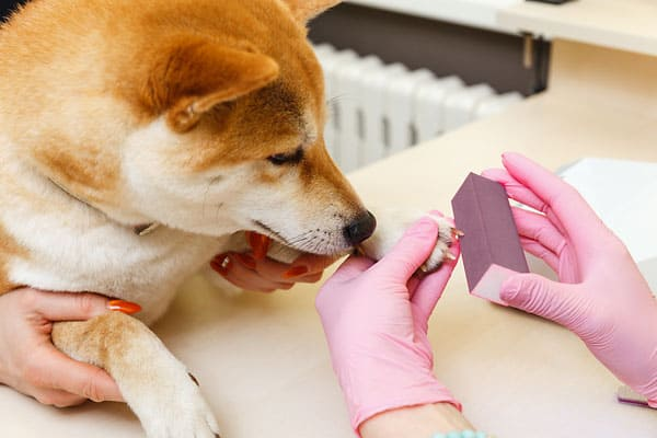 red shiba inu nail being sanded