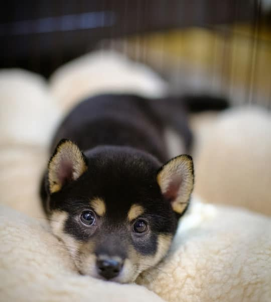 cute shiba inu looking from crate