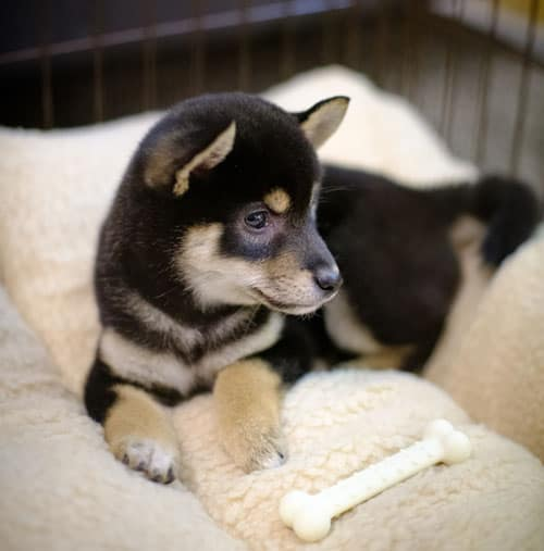 black and tan shiba inu puppy in wired dog crate