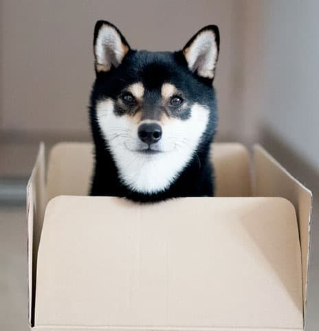 cute black and tan shiba inu looking out from inside a box