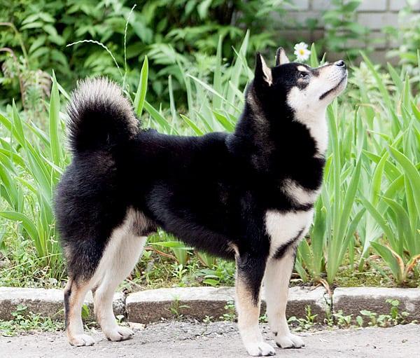 beautiful adult black and tan shiba inu