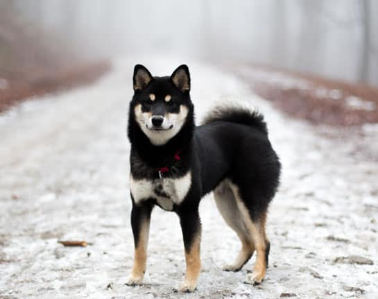 adult black and tan shiba inu in snow